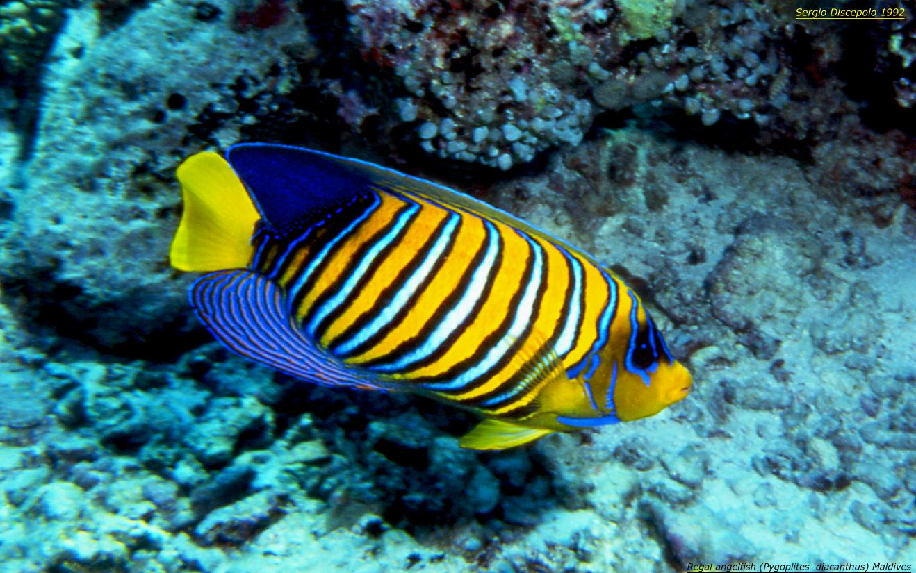 Regal angelfish for Immagini pesce arcobaleno